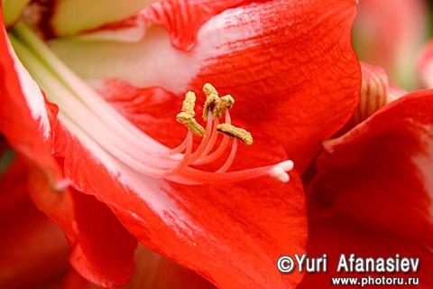 Как снимать цветы. Фотограф Юрий Афанасьев. Фото Гиппеаструм. Тычинки и пестик цветка.