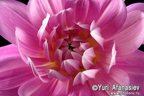 Как снимать цветы. Профессиональный фотограф Юрий Афанасьев. Фото цветок Георгина