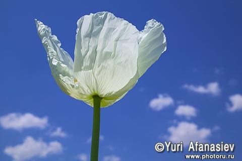 Как снимать цветы. Фотограф Юрий Афанасьев. Фото Мак. Белый мак на фоне неба.