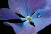 Hydrangea, macro, ornamental plant, photo flower, photo plants, studio
