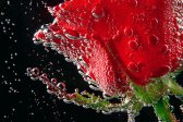 Rose, macro, ornamental plant, photo flower, photo plants, studio, water