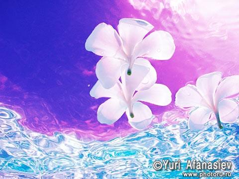 Как снимать цветы. Фотограф Юрий Афанасьев. Фото Экзотические цветы в воде. Съемка под водой