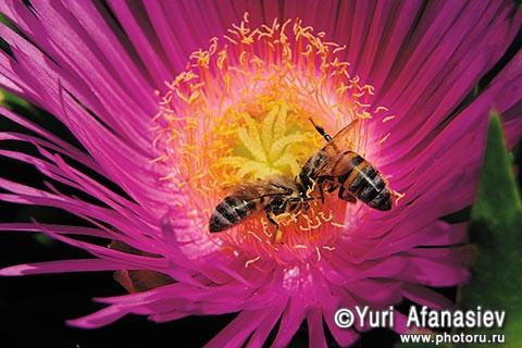 Как снимать цветы. Фотограф Юрий Афанасьев. Эти пчелы залетели в цветок случайно, а каков результат!