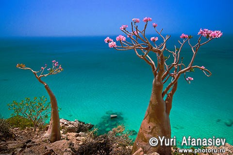 Yemen. The island of Socotra. bottle tree (Adenium obesum) over the ocean 2010. Photographer Yuri Afanasiev