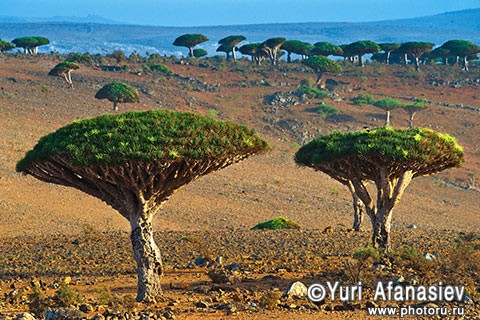 Yemen & Socotra photo tours. Wadi Dirhur canyon, dragon trees. Photographer Yuri Afanasiev