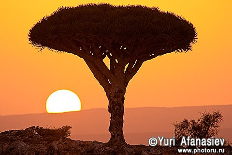 Yemen. The island of Socotra. Dragon tree (Dracaena Dragon) Sunset. 2010. Photo by Yuri Afanasiev