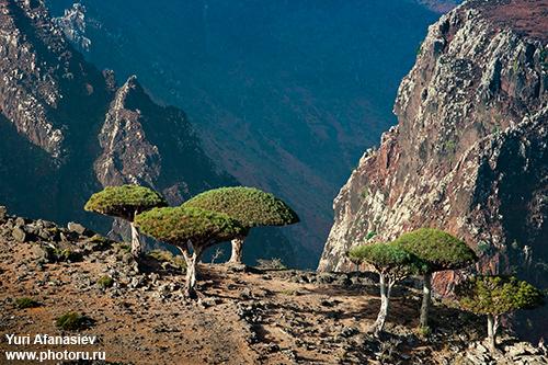 Йемен. Сокотра. Плато Dixam. Съемка драконовых деревьев. Фото тур 2010. Фото Юрия Афанасьева