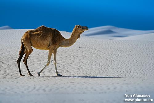 Йемен. Сокотра. съемка дюн на южном берегу Сокотры. Фото тур 2010. Фото Юрия Афанасьева