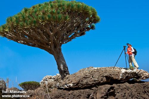 Фото Юрия Афанасьева. Йемен, Сокотра - фото тур. Видео семка   драконового дерева